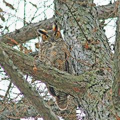Tiger Of The Air (marylee.agnew) Tags: great horned owl fierce predator bird prey nature wildlife life death dark tree forest eyes talons
