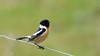 Tarier pâtre (guiguid45) Tags: nature sauvage oiseaux bird passereaux vignes loiret d810 500mmf4 nikon tarierpâtre stonechat muscicapidés passériformes saxicolarubicola affût europeanstonechat