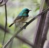 Collared Sunbird (Hedydipna collaris)_DSC2262-editCC (Dave Krueper) Tags: africa southafrica wildlife sunbird birds birding bird