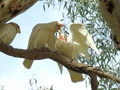 Cacatua tenuirostris 7 (barryaceae) Tags: warracknabeal fauna park vic victoria ausbird ausbirds cacatua tenuirostris longbilled corella australia
