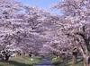 Cherry blossoms of the Kanonji River._A9_9072 (nabe121) Tags: sony α9 ilce9 fe emount sonyalpha sigma 24mm70mm f28 dg os hsm art a017 samount silkypixdeveloperstudiopro8 mc11 npc さくら cherry blossom 桜 サクラ 福島県 猪苗代町 観音寺川 fukushima inawashiro ふくしま 福島 うつくしまふくしま
