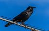 Raven on Television Antenna (Merrillie) Tags: nsw woywoy wildlife australia raven nature bird birds centralcoast animals fauna antenna newsouthwales animal
