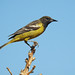 Immature Scott's Oriole Male