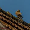 Jung-Falke (Steffi.K.) Tags: falke greifvogel