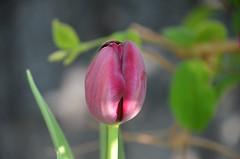 Tulp (Hugo Sluimer) Tags: tulpen tulips natuur nature natuurfotografie natuurfotograaf naturephotography natuurinbloei vlaardingen zuidholland holland nederland