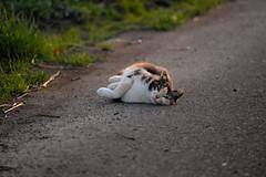 LR-DSCF9802 (studiofuntas) Tags: machineko yodogawa straycat higashiyodogawaku joggingroad road pet grass animal soil cat