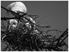 Building a Nest (karith) Tags: egrets greatwhiteegrets nest buildinganest twigs sticks bw blackandwhite alameda karith nikcolorefexpro