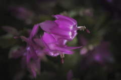 A Zygocactus Glamour Shot (Modkuse) Tags: photoart flower zygocactus pink nikon macro macrophotography 105mmf28nikkormacro 105mm nikondslr nikond700