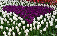 ♡ Skagit Valley Tulip Festival (Roozengaarde) (SonjaPetersonPh♡tography) Tags: laconner mountvernon mtvernon skagitvalley skagitvalleytulipsfestival skagitcounty skagitvalleytulipfestival washington washingtonstate stateofwashington tulips tulip gardens flowers tulipfields tulipfestival festival festivities nikon nikond5300 macro