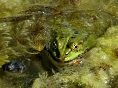 Teichfrosch (Gertrud K.) Tags: frog rana pelophylaxesculentus berlin britzergarten amphibian