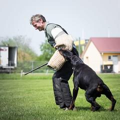 Stay please (zola.kovacsh) Tags: outdoor animal pet dog ipo schutzhund dobermann doberman pinscher