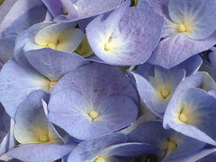 My blue hydrangea!! P1040664 (amalia_mar) Tags: hydrangea flower flora fiori blue spring macro makemesmile sundaylights 7dwf weeklythemes