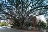 DSC_0048.jpg (Bob Mcnair) Tags: perth tree moretonbayfig