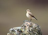 Wheatear (Martial2010) Tags: wheatear angus glen canon