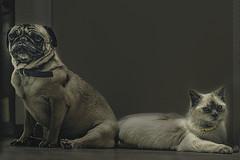 Pegy Luna (Fernando MarLo) Tags: mascotas pp4fac pets pug gato