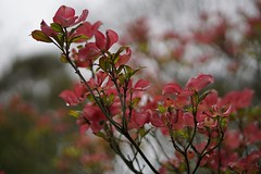 cornus and bokeh (quietpurplehaze07) Tags: cornus bokeh arboretum blossom pink branches