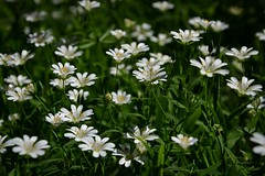 forest meadow :) (green_lover (I wait for your comments:))) Tags: flowers wildflowers plants nature green white