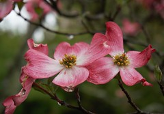 Dogwood (ironicdream) Tags: flower dogwood blooming blossom biltmore flowers tree spring explore explored sony