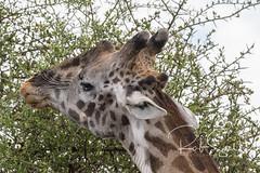 Masai Giraffe (robsall) Tags: 2016 500mm 7dmark2 7dmarkii 7dm2 7dmii africa africatourism africawildlifephotography africanwildlife canon canon500mmf4lisiiusm canon500mmf4 canon500mmf4lii canon500mmf4ii canon7dmark2 canon7dmarkii canon7d2 canon7dm2 canoneos canoneos7dmark2 canoneos7dm2 family giraffacamelopardalistippelskirchi giraffe giraffes kilimanjarogiraffe mammal masaigiraffe masaigiraffes robsallaeiral robsalldrone robsalldronephotography robsallphotography robsallwildlifephotography tanzania tanzania2016 vacation mararegion tz