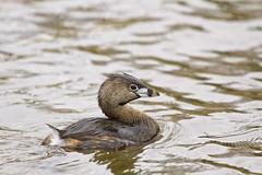 pied billed grebe up close ( explored ) (G_Anderson) Tags: grebe waterfowl urban lake birding missouri