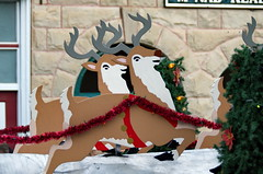 Fort Macleod Reindeer (Bracus Triticum) Tags: fort macleod reindeer アルバータ州 alberta canada カナダ 11月 十一月 霜月 jūichigatsu shimotsuki frostmonth autumn fall 平成29年 2017 november