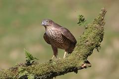 Sparrowhawk - Female (Dougie Edmond) Tags: ringford scotland unitedkingdom gb raptor bird prey birds nature wildlife sunshine