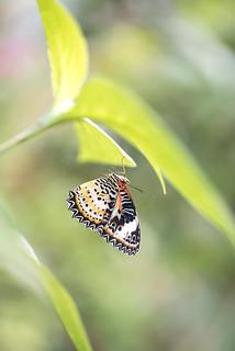 Cethosia cyane