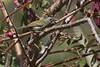 BLATHRSUN F 1071 (bryanjsmith62) Tags: blackthroatedsunbird female aethopygasaturata sunbirdsandspiderhunters nectariniidae birdsofchina