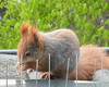 """heute am offenen Fenster ... (flixx-ak) Tags: flixxakoffenbachammainhessen deutschland germany """"anvormeinemfenster"""" eichhörnchen squirrel 2018 ehmithinterlaufproblem2017 r0024707"""