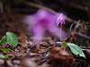 the vision in the spring forest (murozo) Tags: dogtooth violet flower purple spring yurihonjo akita japan forest カタクリ 花 紫 春 由利本荘 秋田 日本 森