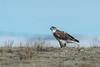 Adult Ferruginous hawk (getting back ( slowly )) Tags: adult ferruginous hawk manyberries alberta nikon