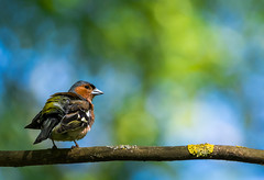 Colorful (Sergey Surovy) Tags: 2017 belarus minsk nikond7100 nikkor200500 nature birds wildlife