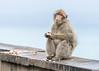 Barbary Ape (1 of 3) (tickspics ) Tags: barbarymacaque oldworldmonkeys macaques europe gibraltar upperrockreserve barbaryape britishoverseasterritory catarrhini cercopithecidae macacasylvanus mammalia primates therock
