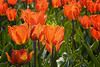 Orange And Green (Alfred Grupstra) Tags: tulip nature springtime flower plant yellow season flowerbed beautyinnature summer outdoors red multicolored greencolor freshness flowerhead petal leaf field vibrantcolor