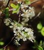 Chokeberry Blossums, Gulley Park - Fayetteville, Arkansas (danjdavis) Tags: chokeberryblossuums floweringtree flower whiteflower gulleypark faytteville arkansas