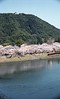 Cherry blossoms of the Kintai-kyo Bridge side,Iwakuni city 2018/03 No.6(taken by film camera). (HIDE@Verdad) Tags: lzosindustar61lzmc50mmf28 asahipentaxspotmatic pentaxsp pentax pentaxspotmatic fujifilm superiapremium400 industar61 russian