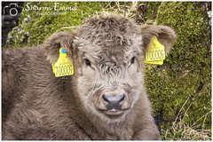 No. 700009 (Sharon Emma Photography) Tags: blowingbubbles no700009 uk508849 baby weecoo liedown rest chewingthecudohwhataview mountains snowcappedmountains snow highland coo highlandcattle bòghàidhealach heilancoo cow cattle breed brindle wavycoat isleofskye skye skai anteileansgitheanach eileanacheò skíð peninsula innerhebrides scotland scottishhebrides pictureperfect picturesque view nature naturalworld wildlife wild ngc beautiful pretty ideal stunning peaceful nikon nikond7200 d7200 sharonemmaphotography sharongoldring sharonemmagoldring sharondowphotography sharondow march2018 2018 holiday travelling calf earrings tags young small