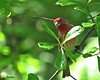 House Finch (Suzanham) Tags: housefinch finch bird perching nature wildlife songbird mississippi house tree leaf