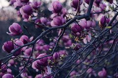 Magnolias (Garen M.) Tags: johnjamesauduboncenter buds spring blooms macro flora nature nikond850 magnoliaflower springtime nikkor105mmf28macro