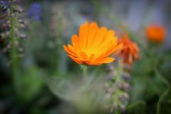 Calendula (W@nderluster) Tags: canon eos 50mm calendula orange passion flower fiore spring primavera printemps flora nature natura
