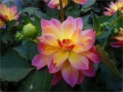 Differenza... (antonè) Tags: fiore dalia macro olbia olbiainfiore citazione buddha sardegna antonè dahlia flower fleur flor