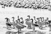 Oies des neiges (Paul Leb) Tags: oiseau oiedesneiges oieblanche baiedufebvre canada québec bird snow goose ganso nieve blanco white noiretblanc nb blackandwhite blancoynegro