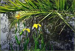 Iris des marais (ou Iris pseudacorus) en fleurs et en boutons sur les berges du lac (bleumarie (absente quelques jours)) Tags: irispseudacorus irisdesmarais mariebousquet suddelafrance bleumarie toulouges parcdeclairfont pyrénéesorientales catalogne roussillon nature parc vert verdure végétal végétation flore floraison fleur rouge goupillon bouton éclosion printemps bokeh espacevertclairfont espacevert jardinpublic parcpublic espacevertpublic floral palme palmier arbre