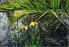 Iris des marais (ou Iris pseudacorus) en fleurs et en boutons sur les berges du lac (bleumarie) Tags: irispseudacorus irisdesmarais mariebousquet suddelafrance bleumarie toulouges parcdeclairfont pyrénéesorientales catalogne roussillon nature parc vert verdure végétal végétation flore floraison fleur rouge goupillon bouton éclosion printemps bokeh espacevertclairfont espacevert jardinpublic parcpublic espacevertpublic floral palme palmier arbre