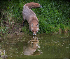 Fox At The Water's Edge (DHHphotos) Tags: top20fox fox pond water wildlife wild life nikon d7500 countryside uk britain