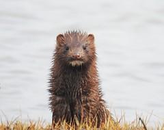 A curious American Mink (Neovison vison) (Nature In a Snap) Tags: american weasel mammal fur semiaquatic nj west creek cedar run dock road ocean marsh curious mink neovison vison nature wildlife looking