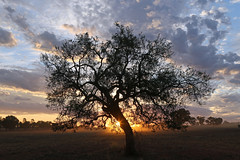 Outback Sunset (Alan McIntosh Photography) Tags: sunset tree outback nature light backlight silhouette magic landscape golden condobolin
