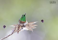 Racket-tailed Coquette (Discosura longicaudus)