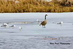 IMG_4179 (nitinpatel2) Tags: bird nature nitinpatel