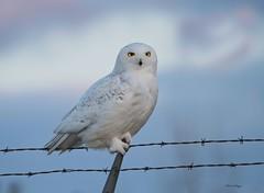 Snowy Owl At Sunset (bearbear leggo) Tags: snowyowl sky artic wildlife white ontario photography perched snowy owl